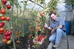 Skördar för en arbetare av röda mogna tomater i ett växthus Royaltyfri Bild