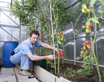 Skördar för en arbetare av röda mogna tomater i ett växthus Royaltyfri Fotografi
