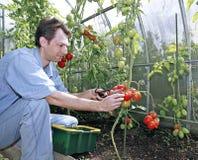 Skördar för en arbetare av röda mogna tomater i ett växthus Arkivfoton