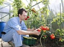 Skördar för en arbetare av röda mogna tomater i ett växthus Royaltyfri Foto