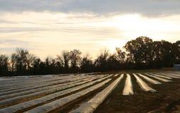 Skördar i ett fält som täckas för skydd från frost Fotografering för Bildbyråer