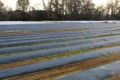 Skördar i ett fält som täckas för skydd från frost Arkivbild