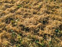 Skördat fält efter kornskördar Arkivfoto