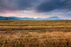 Skördat risfältfält på Kota Belud, Sabah, östliga Malaysia royaltyfri bild