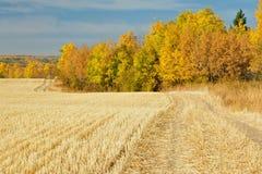 Skördat vetefält i nedgång Arkivbilder