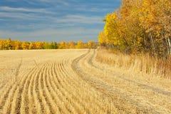 Skördat vetefält som gränsas av aspar Arkivfoto