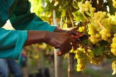 Skördearbetarehänder som klipper gröna druvor på en vingård fotografering för bildbyråer