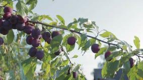 Skörden av plommoner stock video