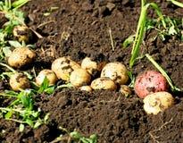 Skörden av potatisar Royaltyfri Bild
