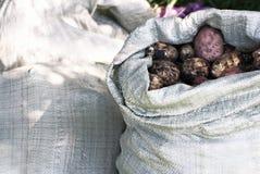 Skörden av potatisar Royaltyfria Foton