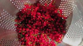 Skörden för den röda vinbäret tvättade grupper av den röda vinbäret i durkslag Den kvinnliga handen tar ut grupper av vinbäret fr arkivfilmer