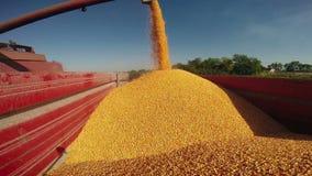 Skördetröskan häller majsfrö efter skörd lager videofilmer