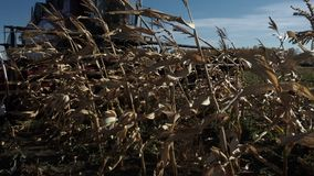 Skördetröskaslut upp att klippa det guld- vetet stock video