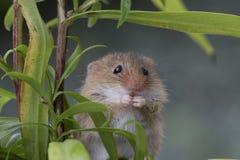 Skördmusen, möss stänger sig upp ståendesammanträde på tisteln, havre, vete, björnbärsbuskar, slånet, tusenskönan, blommor royaltyfri bild