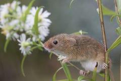 Skördmusen, möss stänger sig upp ståendesammanträde på tisteln, havre, vete, björnbärsbuskar, slånet, tusenskönan, blommor arkivbild