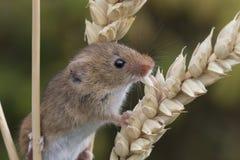 Skördmusen, möss stänger sig upp ståendesammanträde på tisteln, havre, vete, björnbärsbuskar, slånet, tusenskönan, blommor royaltyfri fotografi