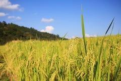 SkördPaddy Rice fält royaltyfri bild
