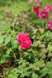 Skördrosa färgros i en liten trädgård Arkivfoto
