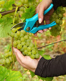 Skördtid i vingård Arkivfoto