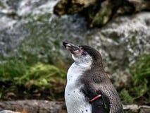 Sköt av en pingvin royaltyfria foton
