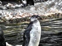 Sköt av en pingvin arkivfoto
