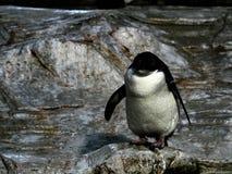Sköt av en pingvin royaltyfria bilder