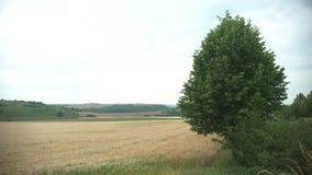 Sköt av ett enormt vetefält i Juni på molnigt väder stock video