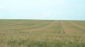Sköt av ett enormt vetefält i Juni på molnigt väder arkivfilmer