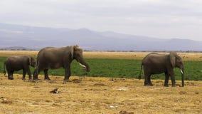 Sköt av flera elefanter på amboselien i Kenya arkivfoto