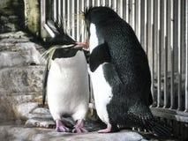Sköt av två pingvin arkivfoton