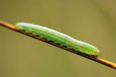 sköt den gröna makroen för caterpillaren wildkife Arkivfoto