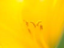 sköt extrema makropetals för abstrakt bakgrund solrosen Abstrakt bakgrund med pistill- och ståndarenolla Royaltyfri Foto