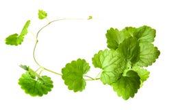 Skład świezi zieleni liście mlejąca pokrywa Obrazy Stock