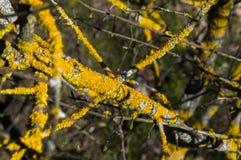 Skład gałąź drzewne z żółtym liszajem Fotografia Stock
