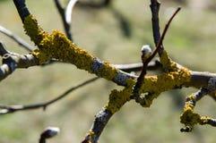 Skład gałąź drzewne z żółtym liszajem Fotografia Royalty Free