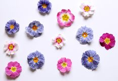 Skład pierwiosnek, primula vulgaris kwiaty na białym tle, odgórny widok, kreatywnie płaski układ Pojęcie obraz royalty free