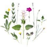 Skład rośliny i kwiaty na białym tle Leczniczy korzenni aromatyczni ziele Mieszkanie nieatutowy, odgórny widok obraz stock