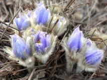 Składa pierwszy wiosny Marzec kwiatów lilego błękitnego sasanku Obrazy Royalty Free