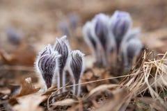 Składa pierwszy wiosny Marzec kwiatów lilego błękitnego sasanku, Zdjęcie Stock