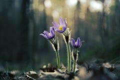 Składa pierwszy wiosny Marzec kwiatów lilego błękitnego sasanku, Obrazy Royalty Free