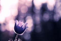 Składa pierwszy wiosny Marzec kwiatów lilego błękitnego sasanku, Zdjęcia Stock