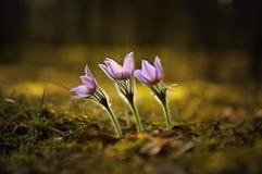 Składa pierwszy wiosny Marzec kwiatów lilego błękitnego sasanku, Zdjęcia Royalty Free