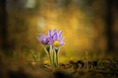 Składa pierwszy wiosny Marzec kwiatów lilego błękitnego sasanku, Zdjęcie Royalty Free