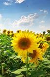 składu łąkowi natury słoneczniki obraz stock