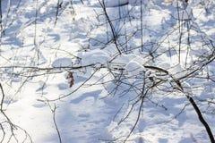 Skłoniony cienki drzewo zakrywający z jaskrawym puszystym śniegiem obrazy royalty free