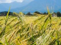 Skłoniony pszeniczny zakończenie. zdjęcie royalty free