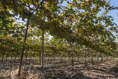 składu krajobrazowy natury winnica Obraz Royalty Free