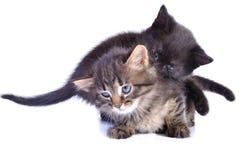 skämtsamma kattungar Royaltyfri Fotografi