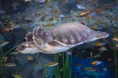 Sk?ldpaddor i akvarium fotografering för bildbyråer