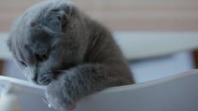 sk?mtsam brittisk kattunge stock video